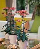 Kalanchoe blossfeldiana 'Dorothee'