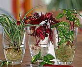 Stecklingsvermehrung von Chlorophytum / Grünlilie, Iresine