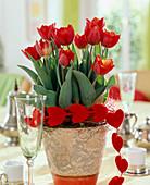 Tulipa-Hybr. 'Arma' / Tulpen, Kette mit Samtherzen