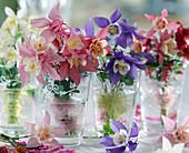 Aquilegia caerulea 'Spring Magic' / Frühlingsakelei
