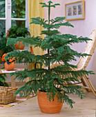 Araucaria heterophylla / Zimmertanne