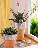 Aloe broomii (hinten)