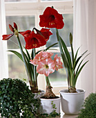 Hippeastrum 'Apple Blossom' 'Red Lion' Amaryllis
