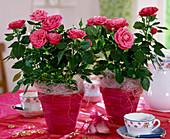 Rosa sinensis