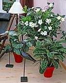 Calathea orbifolia, Calthea zebrina / Korbmarante, Mandevilla