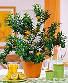 Citrus - Hybr. 'Chinotto'