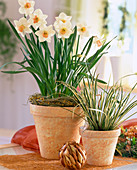 Narcissus-Hybr. 'Salome' / Osterglocken