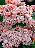 Kalanchoe blossfeldiana, gefüllt rosa