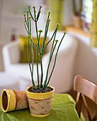 Euphorbia allnandii