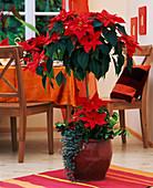Euphorbia pulcherrima 'Fire' / Weihnachtsstern als Baum, Ilex aquifolium / Stech