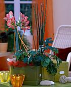 Hippeastrum / Amaryllis, Cissus rhombifolia 'Ellen