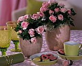 Rosa chinensis / Topfröschen in rustikalen Töpfen