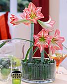 Amaryllisblüten im Glas mit Ackerschachtelhalm als Steckhilfe