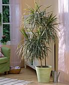 Dracaena marginata 'Tricolor' / Drachenbaum