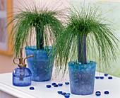 Scirpus cernuus syn. Isolepis cernua / Riedgras in blauen Glastöpfen