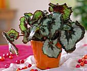 Begonia 'Escargot' / Schneckenbegonie