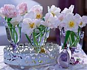 Tulipa 'Angelique' / Tulpen in Gläsern auf weißem Blechtablett