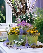 Galanthus nivalis / Schneeglöckchen, Crocus / kleinblütige