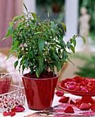 Agonis flexuosa 'Romeo Extase' / Weidenmyrte, die Blätter