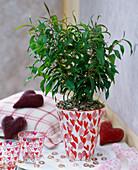 Agonis flexuosa 'Romeo Extase' / Weidenmyrte, Blätter duften