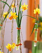 Narcissus 'Jetfire' / Narzissen in Reagenzglasvasen an Salix