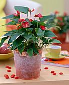 Anthurium andreanum 'Silence' / Flamingoblume im Glastopf