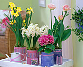 Narcissus 'Pipit' / Narzissen, Hyacinthus / Hyazinthen, Tulipa