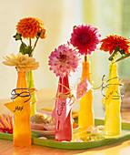 Dahlia / Dahlien in bunten Plastikflaschen, Namensschilder mit Draht angebunden
