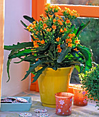 Kalanchoe 'African Orange' / Flammendes Käthchen, gelber