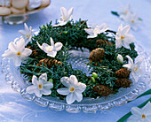 Cupressus arizonica / Arizonazypresse, Larix / Lärche, Narcissus 'Ziva' / Tazett