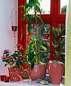 Odontonema schomburgkianum / Roter Regen, Cordyline 'Kiwi'