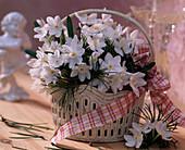 Narcissus 'Ziva' / Tazett-Narzissen, Pinus / Kiefernzweige, Schleifenband, weiße