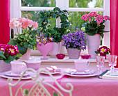 Kalanchoe Calandiva 'Cerise Pink' (gefüllt. Flammendes Käthchen)
