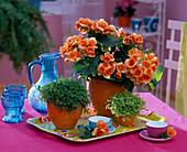 Begonia elatior (Zimmerbegonie)