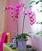 Phalaenopsis (Schmetterlingsorchidee)