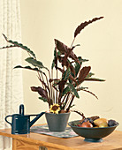 Calathea rufibarba 'Wavestar' (Korbmaranthe) mit Blüte