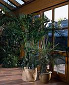 PHOENIX roebelinii (Zwergdattelpalme)