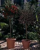 CALLISTEMON citrina, Leptospermum scoparium