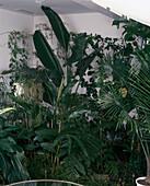 Wintergarten mit Strelitzia Nicolai, HEDYCHIUM Gardner-