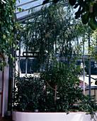 Schinus MOLLE (Peruanischer Pfefferbaum),Schinus