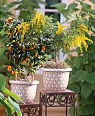 Fortunella japonica / Kumquat, Acacia dealbata / Mimose