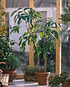 Pachira aquatica (Rasierpinselbaum, Glückskastanie)