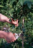 Wildling vom Johannisbeerstämmchen Abschneiden