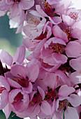 Prunus persicum 'Amber var. Pixzee'