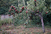 Abgestützter Fruchtbehangener