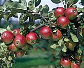 Apfel 'Kardinal Bea'