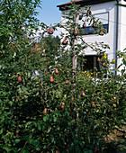 Spaplier-Birnenbaum an Drähten gezogen als