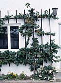 Aprikosenspalier