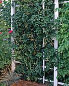 Rubus 'Thornless Evergreen' (Brombeere)