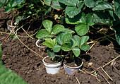 Erdbeeren (Fragaria) sind leicht zu vermehren